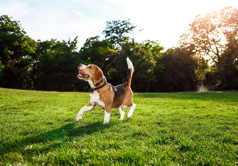 Cachorro beagle correndo em gramado