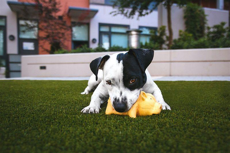 Cachorro preto e branco deitado em gramado brincando com uma porquinho de borracha