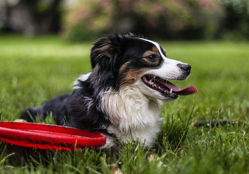 Cachorro deitado em grama com um frisbee vermelho ao lado